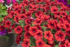Red Petunias #2 Royalty Free Stock Image