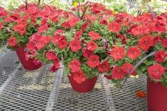 Red Petunias #3 Stock Photos