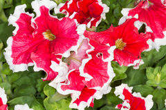 Red petunias with white trim Stock Images