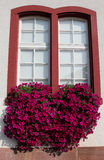 Red petunias in a window flower box. Window with petunias cascading from a flower box Stock Image