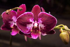 Red Phalaenopsis Orchid. Phalaenopsis is one of the most popular orchids in the trade, through the development of many artificial hybrids Stock Photos