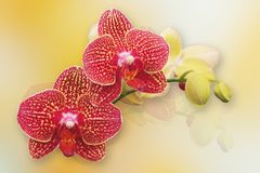 Red phalaenopsis orchid Stock Images