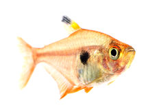 Red Phantom Tetra fish Royalty Free Stock Photo