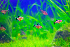 Red Phantom Tetra fishes in aquarium Stock Photos