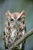 Red phase Eastern Screech Owl Royalty Free Stock Images