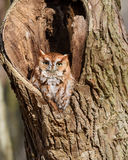 Red Phase Eastern Screech Owl Stock Photography