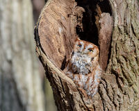 Red Phase Eastern Screech Owl stock images