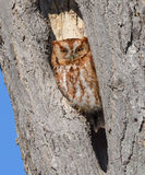 Red Phase Eastern Screech Owl royalty free stock image