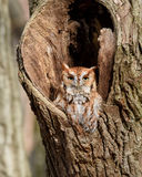 Red Phase Eastern Screech Owl. Perched on the edge of his den tree with his eyes open in Pennsylvania Stock Image