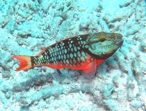 Red Phase Stoplight Parrotfish. A juvenile Stoplight Parrotfish in red or initial phase rests on the rubble bottom of a coral reef; In initial phase it could Stock Photo