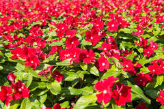 Red phlox Stock Image