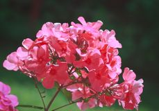 Red phlox Stock Images