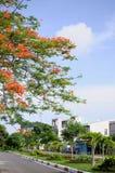 Red phoenix flower...Landcape city  Tay Ninh Viet Nam.. Royalty Free Stock Image