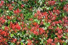 Red Photinia shrub. In garden Royalty Free Stock Photography