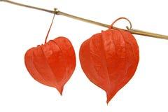 Red Physalis alkekengi - Cape gooseberry Stock Image