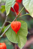 Red physalis on green