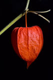 Red Physalis Royalty Free Stock Photo