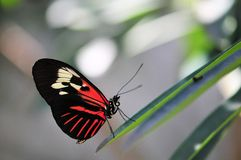 Red piano key butterfly Royalty Free Stock Images