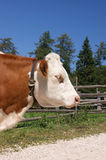 Red pied cow Stock Image