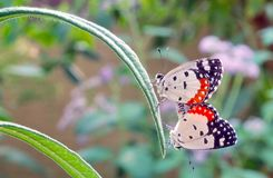Red Pierrot butterflies mating. Stock Images