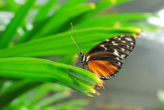 Red Pierrot Butterfly Royalty Free Stock Image
