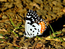 Red Pierrot Butterfly Royalty Free Stock Images