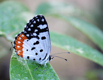 Red Pierrot butterfly on a leaf Stock Photos