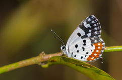 Red Pierrot Butterfly Stock Image