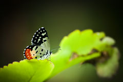 Red pierrot butterfly resting on green leaf Royalty Free Stock Images