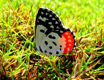 Red Pierrot Butterfly Stock Photography