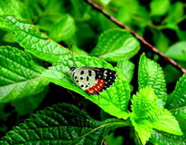 Red Pierrot Butterfly Royalty Free Stock Photos