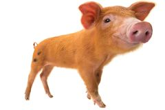 Red pig distorted by a wide-angle close-up. On a white background Stock Image