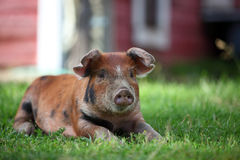 Red Pig Stock Image