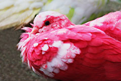 Red pigeon Stock Images