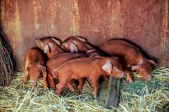 Red pigs of Duroc breed. Newly born. The concept of tasty and healthy ecological food.  Royalty Free Stock Image