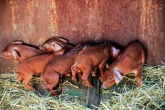 Red pigs of Duroc breed. Newly born. Cute piglets. Rural swine farm.  Royalty Free Stock Photography