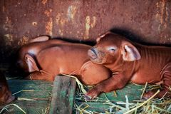Red pigs of Duroc breed. Newly born. Rural swine farm. Cute piglets royalty free stock photography