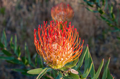 Red  pincushion flower. Flower of a red  pincushion in the leucadendron family near Sir Lowrys Pass  in the Western Cape Province of South Africa Royalty Free Stock Photo