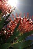 Red pincushion Stock Image