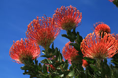 Red pincushion Royalty Free Stock Photography