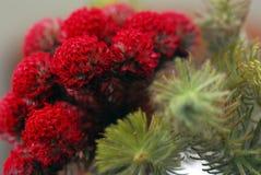 Red pine. Tree sprig Xmas Stock Image