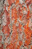Red Pine Bark Background Stock Photo