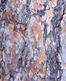 Red Pine Bark Texture. The bark of Red Pine (Pinus resinosa) has interesting colors and texture Royalty Free Stock Photo