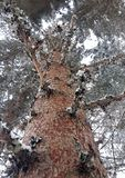 Red pine in the depths of a Norwegian forest. Norwegian red pine taken close up to look at lichens stock photos