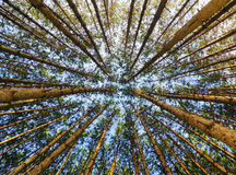 Red Pine Forest Looking Up Stock Photo