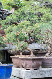 Red pine. In a garden Royalty Free Stock Photography