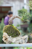 Red pine. In a garden Stock Photography