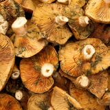 Red pine mushroom Royalty Free Stock Image