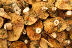 Red pine mushroom Stock Photography