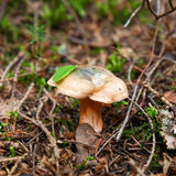 Red pine mushroom Royalty Free Stock Images